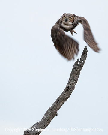 Great Horned Owl Jan 26 2014 Steve Leimberg - UnSeenImages com _H1R0025