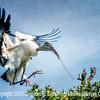 Woodstork Bring Home Branch II - Copyright 2015 Steve Leimberg - UnSeenImages Com _M1A8969