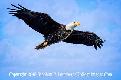 Eagle Soars Copyright 2019 Steve Leimberg UnSeenImages Com _A6I4599