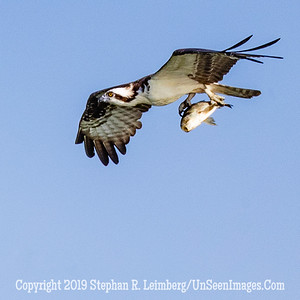 Osprey with Big Fish Copyright 2019 Steve Leimberg UnSeenImages Com _A6I4560