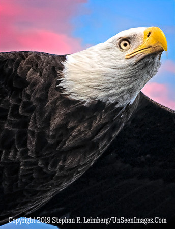 Close Up of Eagle Flying - Copyright 2019 Steve Leimberg UnSeenImages Com _A6I4585
