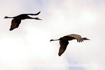 Sandhill Cranes in Flight Copyright 2019 Steve Leimberg UnSeenImages Com _A6I7466