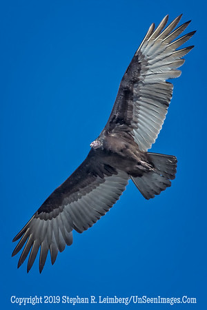 Turkey Vulture - Copyright 2014 Steve Leimberg - UnSeenImages Com _M1A2290