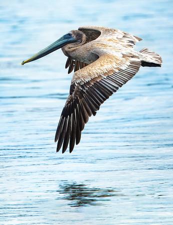 Pelican in Flight  Copyright 2018 Steve Leimberg UnSeenImages Com _Z2A5398