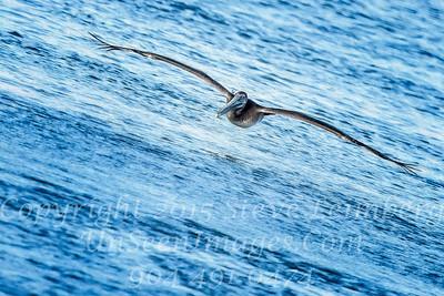 Pelican in Flight II - Copyright 2016 Steve Leimberg - UnSeenImages Com _M1A4733