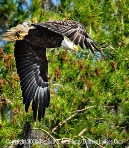 Eagle ini Flight Copyright 2019 Steve Leimberg UnSeenImages Com _Z2A1824