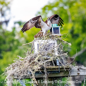 Osprey on Day Marker Copyright 2019 Steve Leimberg UnSeenImages Com _A6I0746