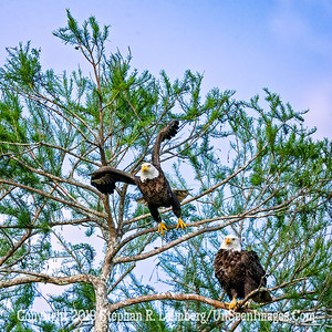 Eagle Taking Off Copyright 2019 Steve Leimberg UnSeenImages Com _A6I4513