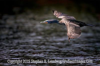 Cormorant in Flight Copyright 2019 Steve Leimberg UnSeenImages Com _Z2A2511