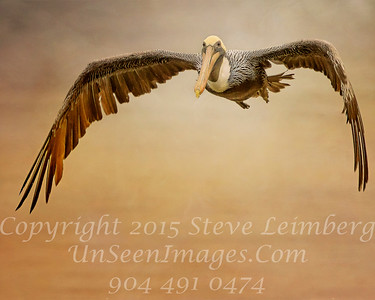 Pelican Flying - Copyright 2015 Steve Leimberg - UnSeenImages Com _M1A5530