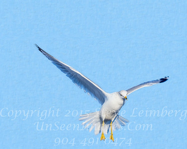 Sea Gull in Flight - Copyright 2016 Steve Leimberg - UnSeenImages Com _Z2A5763