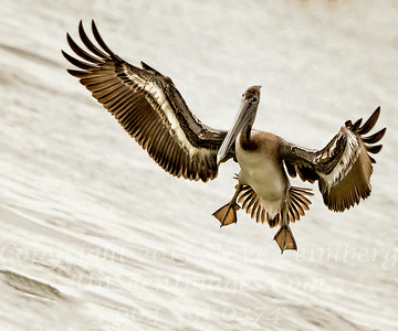 Pelican Landing 2 - Copyright 2015 Steve Leimberg - UnSeenImages Com _H1R6533