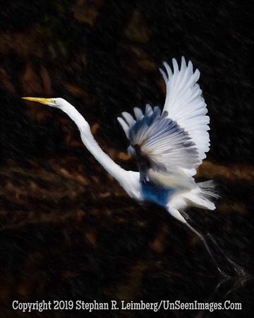 Egret in Flight - Copyright 2015 Steve Leimberg - UnSeenImages Com _H1R7171