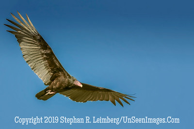 Turkey Buzzard in Flight - Copyright 2015 Steve Leimberg - UnSeenImages Com _M1A2310