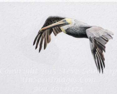 Pelican in Flight - Copyright 2015 Steve Leimberg - UnSeenImages Com _M1A5700