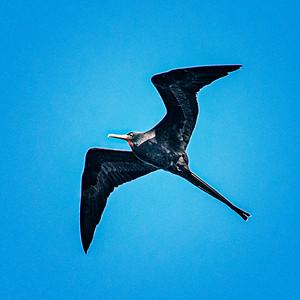 Great Frigatebird Copyright 2020 Steve Leimberg UnSeenImages Com _DSC7051