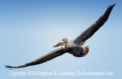 Pelican Wings Spread 2014 Steve Leimberg - UnSeenImages com _H1R1204