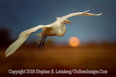 Egret Over Setting Sun - Steve Leimberg - UnSeenImages Com _H1R5881