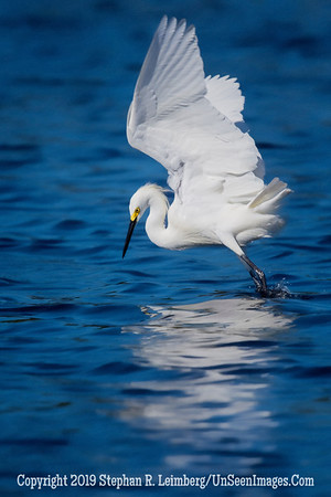 Egret Hitting the Water - Steve Leimberg - UnSeenImages Com _H1R3561