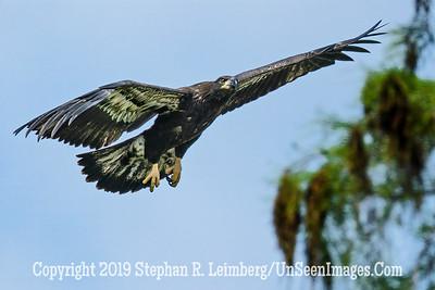 Fledgling Eagle - Copyright 2019 Steve Leimberg UnSeenImages Com _Z2A2112