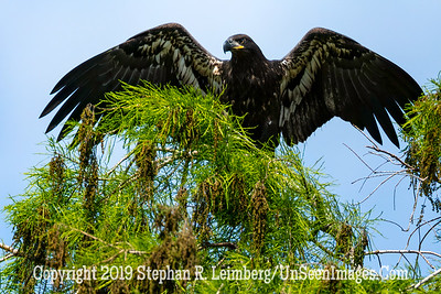 Eagle Landing - Copyright 2019 Steve Leimberg UnSeenImages Com _Z2A2131