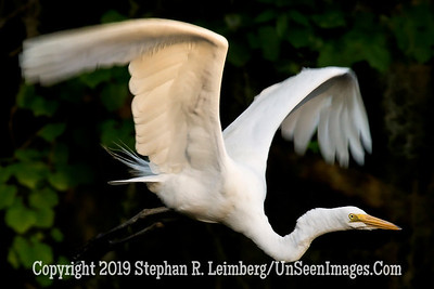Egret in Flight - Steve Leimberg - UnSeenImages Com _H1R2924