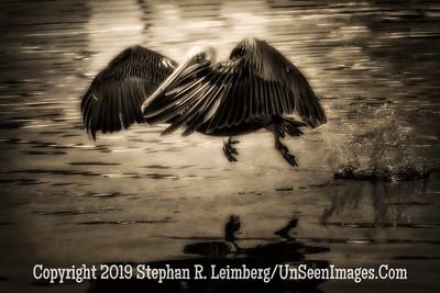 Pelican in Flight - Copyright 2014 Steve Leimberg - UnSeenImages Com _M1A3147