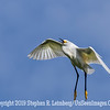 Snowy in Flight - Copyright 2015 Steve Leimberg - UnSeenImages Com _M1A8402