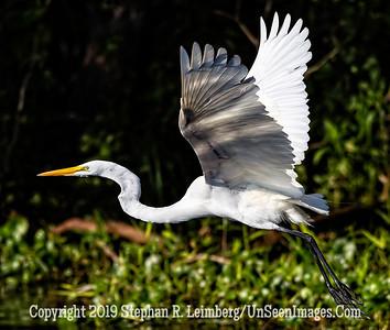 Egret in Flight Copyright 2019 Steve Leimberg UnSeenImages Com _A6I8724