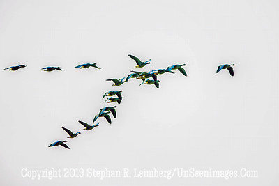 Geese Copyright 2019 Steve Leimberg UnSeenImages Com _Z2A0101
