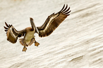 Pelican Landing - Copyright 2015 Steve Leimberg - UnSeenImages Com _H1R6533
