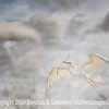New Great Egret with Branch x - Copyright 2015 Steve Leimberg - UnSeenImages Com _L8I9498