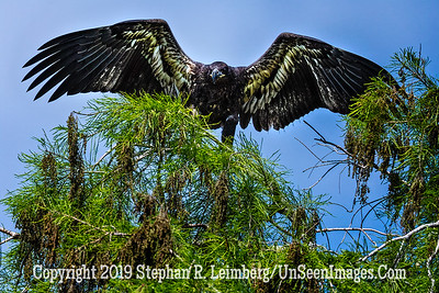Eagle Has Landed - Copyright 2019 Steve Leimberg UnSeenImages Com _Z2A2124