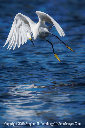 Egret Taking Off - Steve Leimberg - UnSeenImages Com _H1R3559