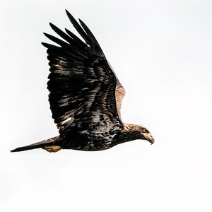 Eagle in Flight Copyright 2019 Steve Leimberg UnSeenImages Com _Z2A2173