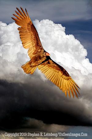 Chickenhawk x _H1R5983