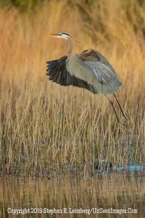 Heron Taking Off  Steve Leimberg - UnSeenImages com  2014 _H1R2339