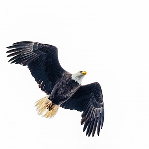 Eagle in Flight Copyright 2019 Steve Leimberg UnSeenImages Com _A6I1557