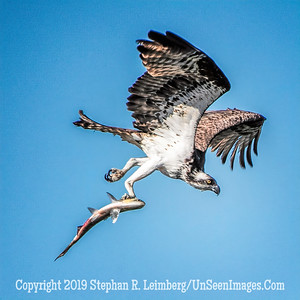 Osprey with Fish Copyright 2019 Steve Leimberg UnSeenImages Com _A6I7030