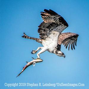 Osprey with Fish Copyright 2019 Steve Leimberg UnSeenImages Com _A6I7030