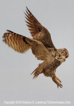 Great Horned Owl - Copyright Steve Leimberg - UnSeenImages com _H1R9936