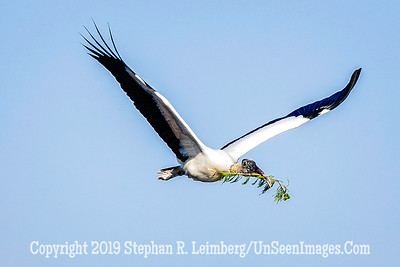 Woodstork Returning to Nest Copyright 2019 Steve LeimbergUnSeenImages Com _A6I8761