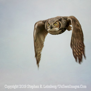 Great Horned Owl Wings Down - Jan 26 2014  Steve Leimberg - UnSeenImages com _H1R0033