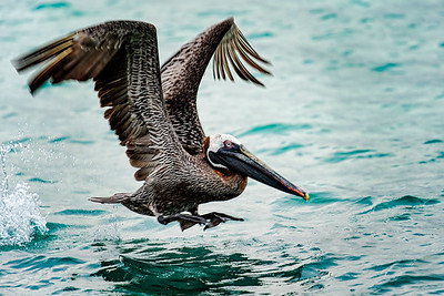 Galapagos Brown Pelican Copyright 2020 Steve Leimberg UnSeenImages Com _DSC5542