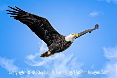 Eagle in Flight Copyright 2019 Steve Leimberg UnSeenImages Com _A6I4571