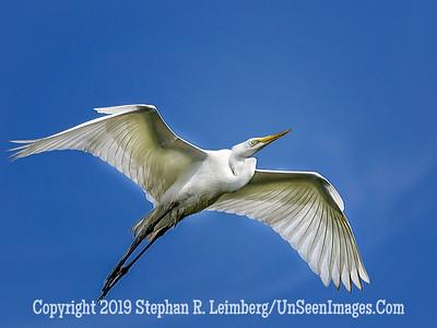 Egret in Flight - Copyright 2015 Steve Leimberg - UnSeenImages Com _M1A8616
