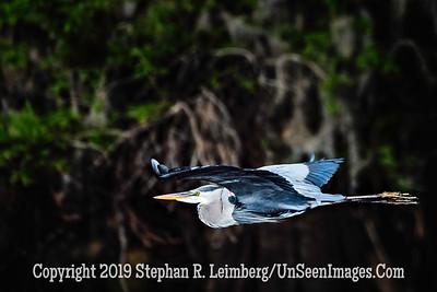 Heron in Flight Copyright 2019 Steve Leimberg UnSeenImages Com _Z2A1603