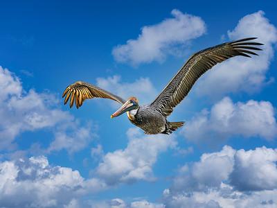 Pelican in Flight Copyright 2021 Steve Leimberg UnSeenImages Com _DSC5258
