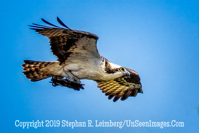 Osprey on a Mission Copyright 2019 Steve Leimberg UnSeenImages Com _Z2A2334