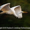 Egret in Flight - Copyright 2015 Steve Leimberg - UnSeenImages Com _H1R1886